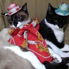 三姉弟/猫/撮影会/仲良し/令和元年フォト投稿キャンペーン/フォロー大歓迎/... 早速被ってみました 人のものが良く見えて…(3枚目)