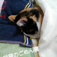 にゃんこ同好会/三毛猫 紗羅のごめん寝