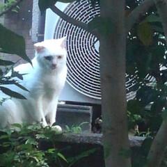 白猫/不審猫さん/雨季ウキフォト投稿キャンペーン/フォロー大歓迎/LIMIAペット同好会/にゃんこ同好会/... 紗夢遥君が言ってた白い猫さん うちの子と…
