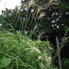 風景 畑にある百合の花  これは夏の終わりに咲…(7枚目)