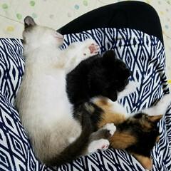 お膝でお寝んね/三姉弟/猫/フォロー大歓迎/LIMIAペット同好会/にゃんこ同好会/... 去年のものですが 3にゃんずが我が家に来…