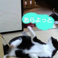 猫のいる暮らし/ねこ/にゃんこ同好会 新しいおもちゃで遊んでもらい ご満悦の3…(5枚目)