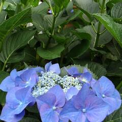 花のある暮らし るっちゃんのみていた紫陽花 上からだと上…(3枚目)