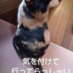 リミアペット同好会/三毛猫 おはようございます 今日は関東地方気持ち…