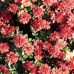 菊/秋の花 おはようございます 大分寒くなりました …