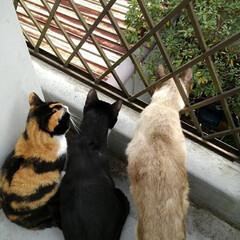 三姉弟猫/ベランダ/にゃんこ同好会 昨日の事 温かい午後ベランダから 下にい…(1枚目)