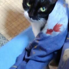 白黒猫/猫のいる暮らし 昨日の紗夢 おこたからひょっと顔を出して…