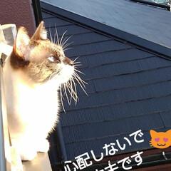 ベランダ/シャム猫/白黒猫/フォロー大歓迎 瑠月の見ていて怖いベランダパトロール 紗…