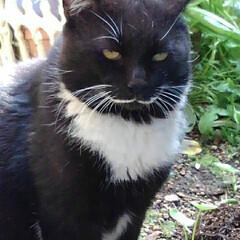 猫のいる生活/白黒猫/にゃんこ同好会/にゃんこ日めくり おはようございます🙀 サムト君がパトロー…