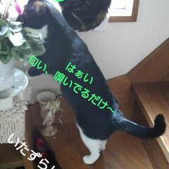 にゃんこ同好会/白黒猫 いたずら紗夢