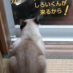 リミアペット同好会/にゃんこ同好会/白黒猫/猫/シャム/ご飯/... 朝ご飯 なにやら紗夢遥君が ご飯 がっつ…