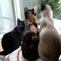 お外見張り隊/三姉弟猫/雨季ウキフォト投稿キャンペーン/フォロー大歓迎/LIMIAペット同好会/にゃんこ同好会 白いにゃんこさんがお外にいたので3にゃん…