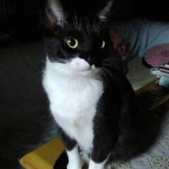 猫の気持ち/猫のいる生活/白黒猫 私が具合の悪いときに 紗夢が心配そうに見…(2枚目)