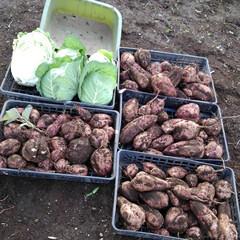 秋/収穫 さつま芋(安納芋)の収穫  里芋、白菜、…