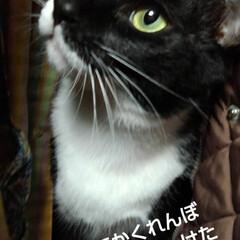 白黒猫/かくれんぼ 母が帰り着替えに行ったときに いち早く洋…