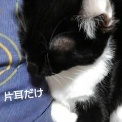 三毛猫/白黒猫/姉弟 いたずらされちゃいました  母の膝に乗る…(2枚目)