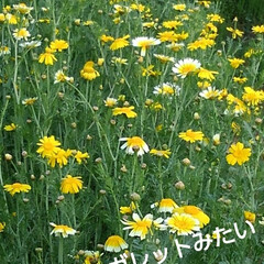 花のある暮らし/風景 昨日の畑の風景  地主さんの春菊が マー…(2枚目)