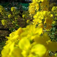 花のある暮らし/春 畑にも春が来ましたよ~🌸🌸🌸 (お花連投…(1枚目)
