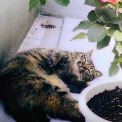 仲良し/ねこ/姉弟猫/フォロー大歓迎/LIMIAペット同好会/にゃんこ同好会 元気だった頃の春ちゃん 後から混ざったの…(3枚目)