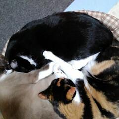 リミアペット同好会/仲良し/ストーブ/三姉弟/リミアの冬暮らし ストーブの前のお団子猫(2枚目)