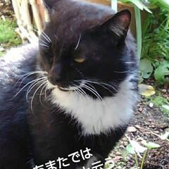 猫のいる生活/白黒猫/にゃんこ同好会/にゃんこ日めくり おはようございます🙀 サムト君がパトロー…(2枚目)