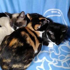 三兄妹/お昼寝/LIMIAペット同好会/フォロー大歓迎/ペット/猫/... 仲良くお昼寝