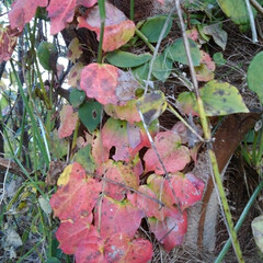 風景/リミアの冬暮らし 畑で見つけた綺麗な蔦の紅葉