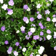 花のある生活 ベランダから見たにおいばんまつりと ベラ…