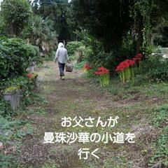 秋の花/風景 前に咲き始めを紹介した曼珠沙華  来週だ…