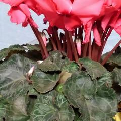 花のある暮らし/にゃんこ同好会 昨日は娘達から時間差攻撃で お花が届きま…(6枚目)