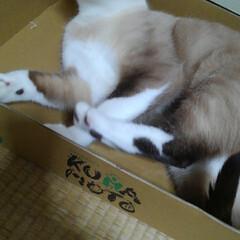 猫のいる暮らし/シャム猫/ねこ/にゃんこ同好会 るっちゃんがトマトの なくなった空箱に入…(2枚目)