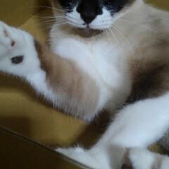 猫のいる暮らし/シャム猫/ねこ/にゃんこ同好会 るっちゃんがトマトの なくなった空箱に入…(3枚目)