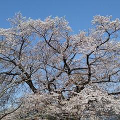 風景/花/花のある暮らし 地主さんの桜 青空によく似合っていた(2枚目)