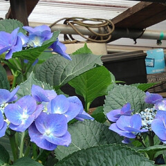 花のある暮らし るっちゃんのみていた紫陽花 上からだと上…(4枚目)