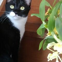 猫のいる生活/にゃんこ同好会/ねこ デンドロビウムが満開で 綺麗に咲いていた…(2枚目)