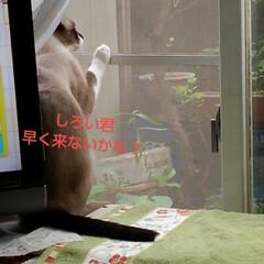 リミアペット同好会/猫/シャム/フォロー大歓迎 すれ違いに待っていた 可愛いカップルの待…(3枚目)