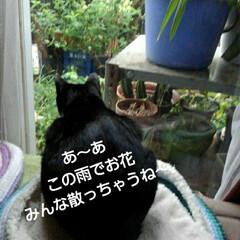 猫のいる生活/にゃんこ同好会/にゃんこ日めくり/猫の気持ち おはようございます ものすごいどしゃ降り…(4枚目)