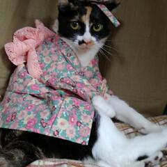 三毛猫/モデル/浴衣/フォロー大歓迎/LIMIAペット同好会/にゃんこ同好会/... 沙羅  浴衣でモデルさん  長目にしてっ…