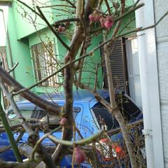 花/風景 紅梅のつぼみが膨らみました もうすぐ咲き…