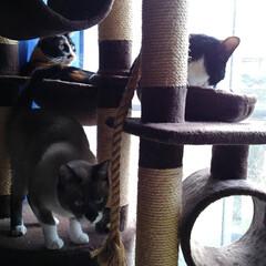 猫のいる暮らし/にゃんこ同好会/キャットタワー 午後のキャットタワー 今日は良く晴れて温…