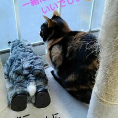 三毛猫/にゃんこ同好会 紗羅も鳥がいっぱい来て 嬉しくて窓辺に飛…