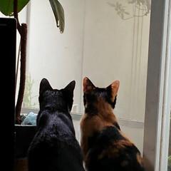 見張隊/三姉弟猫/フォロー大歓迎/LIMIAペット同好会/にゃんこ同好会/うちの子ベストショット お二匹さんでも クロスしても 三匹さんで…