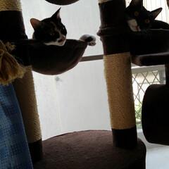 キャットタワー/姉弟猫/フォロー大歓迎/LIMIAペット同好会/にゃんこ同好会/うちの子ベストショット サム 何故か不満顔 気ャットタワーでサラ…(2枚目)