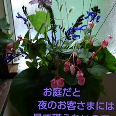 おもてなし/庭の花/秋/フォロー大歓迎 前回も紹介したしゅうかいどう🌸 夜来るお…