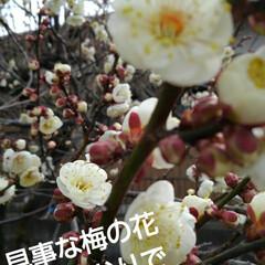 春/梅の花/お出かけ 昨日のお出かけで 満開の梅の花  見事に…