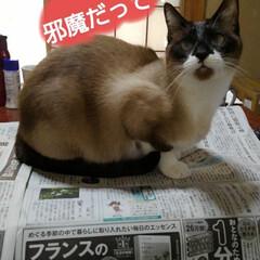 猫のいる生活/ねこ/にゃんこ同好会 新聞を広げたら 必ず座ってくれるのがこの…(1枚目)