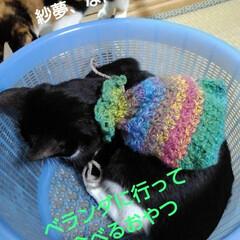 白黒猫 体重測定の前に遊ばれる紗夢  おやつ背負…