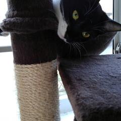 キャットタワー/姉弟猫/フォロー大歓迎/LIMIAペット同好会/にゃんこ同好会/うちの子ベストショット サム 何故か不満顔 気ャットタワーでサラ…
