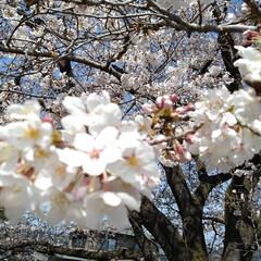 風景/花/花のある暮らし 地主さんの桜 青空によく似合っていた(4枚目)