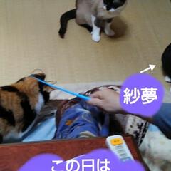猫のいる暮らし/ねこ/にゃんこ同好会 新しいおもちゃで遊んでもらい ご満悦の3…(4枚目)